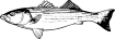 https://images.inksoft.com/images/clipart/thumb/gallery1909/STRIPEDBASS1NC2BW_(CONVERTED).EPS.png