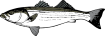 https://images.inksoft.com/images/clipart/thumb/gallery1909/STRIPEDBASS1NC2CLR_(CONVERTED).EPS.png
